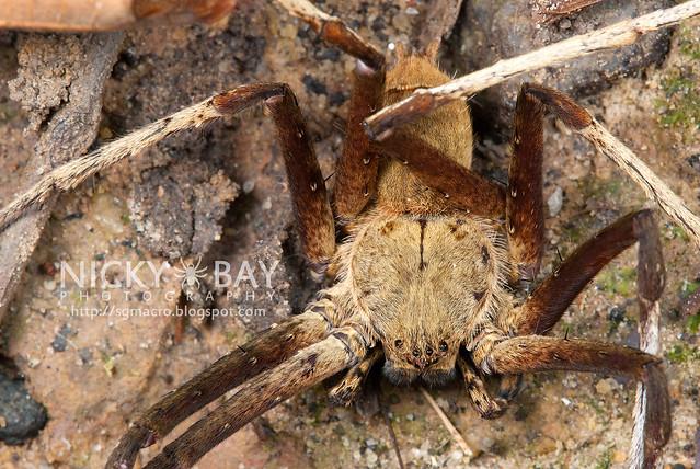 Huntsman Spider (Sparassidae) - DSC_8964