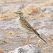 Small photo of African Pipit (Anthus cinnamomeus)