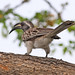 Small photo of African Grey Hornbill (Tockus nasutus)