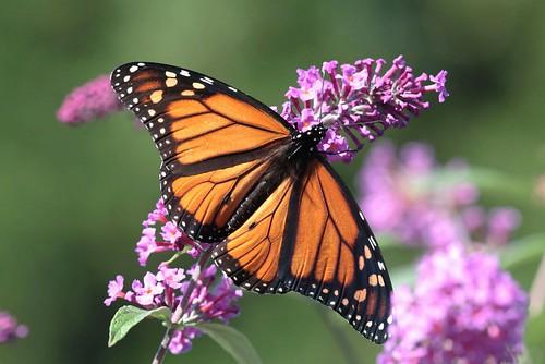 butterfly northcarolina monarch gulffritillary richmondcounty variegatedfritillary longtailedskipper agraulisvanilla