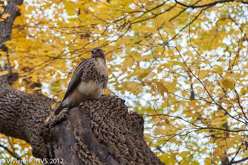 autumn bird sunrise illinois hawk raptor preserves lakecounty redtailedhawk ryersonconservationarea lcfpd
