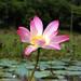Padma Flower-3 by Morshad Alam