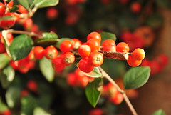 evergreen(0.0), shrub(0.0), acerola(0.0), flower(0.0), aquifoliaceae(0.0), schisandra(0.0), rowan(0.0), aquifoliales(0.0), rose hip(0.0), berry(1.0), branch(1.0), red(1.0), macro photography(1.0), flora(1.0), produce(1.0), fruit(1.0), food(1.0), close-up(1.0), lingonberry(1.0),
