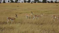 animal, prairie, antelope, springbok, mammal, herd, fauna, impala, savanna, grassland, safari, gazelle, wildlife,