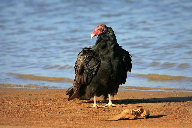 Turkey Vulture   Flickr - Photo Sharing!