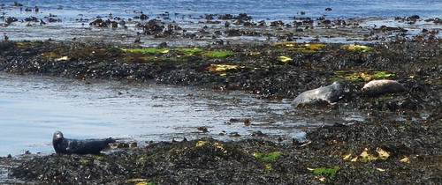 Seals Basking on Rathlin Island