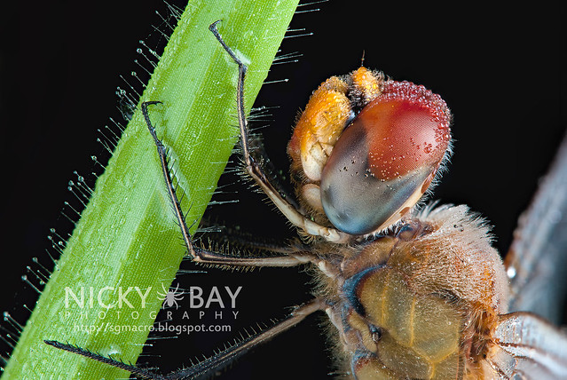 Dragonfly (Anisoptera) - DSC_4075