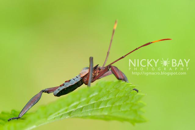 Squash Bug? (Coreidae?) - DSC_2501