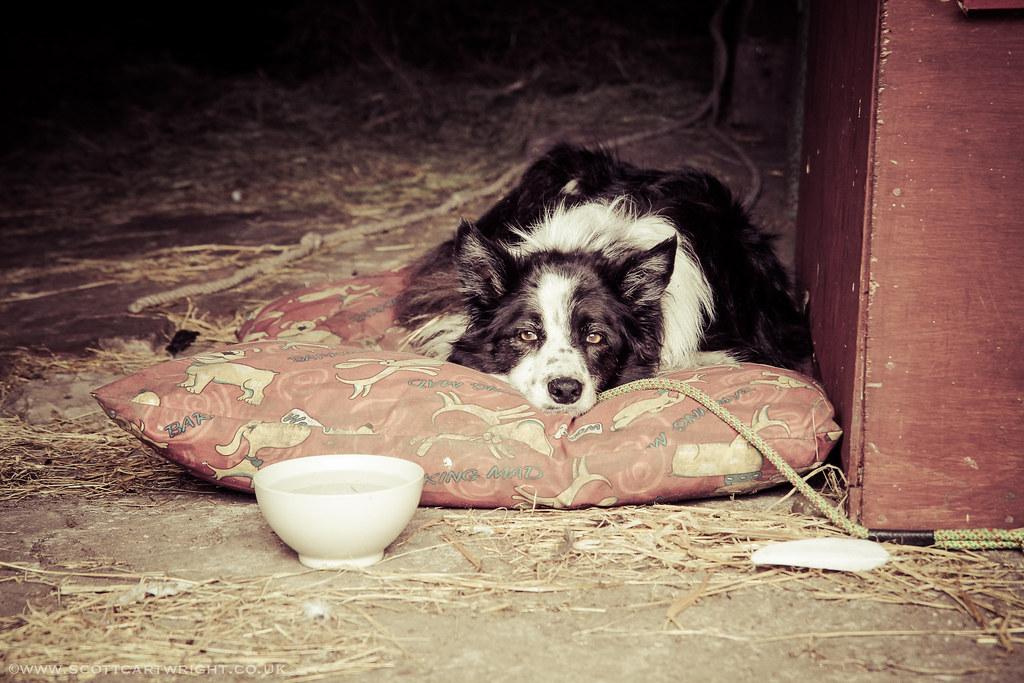 Old Sheep Dog Resting