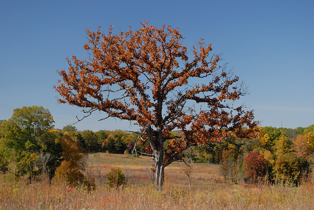 Shaw Nature Reserve (the Arboretum), in Gray Summit, Missouri, USA - lone tree