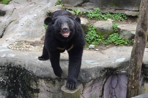 臺灣黑熊在許多原住民傳說中都擁有崇高的形象及地位。攝影:呂軍逸。
