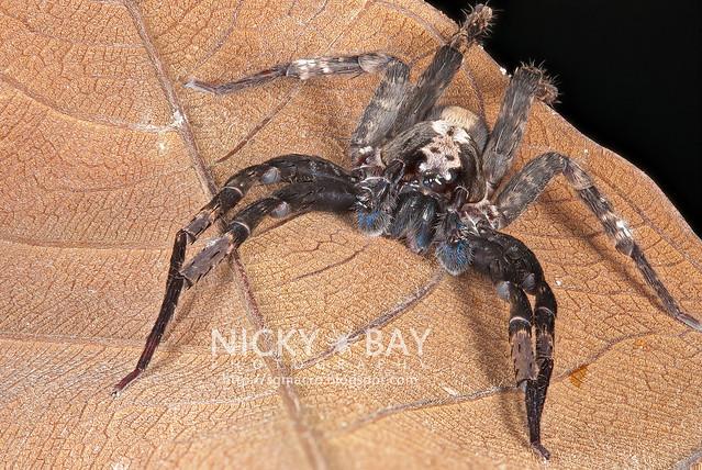 Wandering Spider (Ctenidae) - DSC_1051