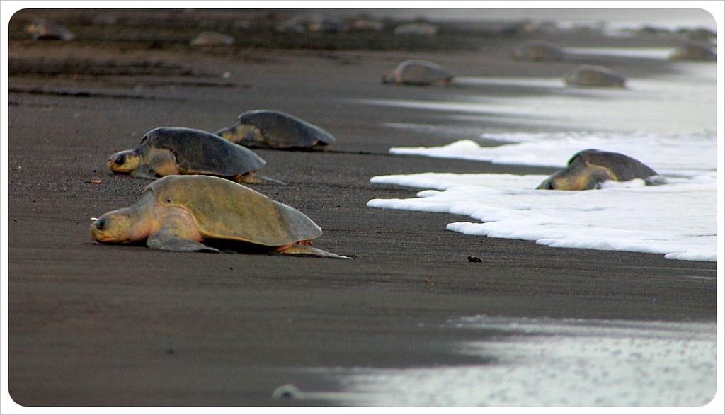 turtle arribada october 2012
