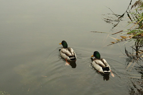 Ducks in the Thames