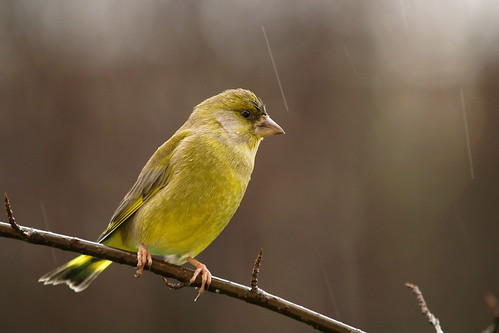 Greenfinch by inga_art