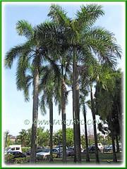 Roystonea regia (Royal Palm, Cuban/Florida Palm)