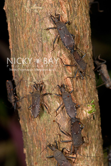 Squash Bugs? (Coreidae) - DSC_9398