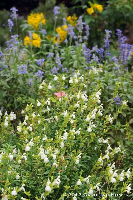 Autumn sage, Mealy Blue Sage, Esperanza
