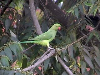 Parrot at NBU campus