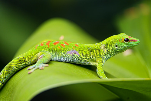 Madagascar day gecko on the leaf