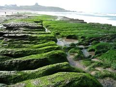 新北市石門的老梅石槽在早春時,大量附生在礁岩上的石蓴將海岸線渲染 成一片碧綠。 攝影:蔡桉浩