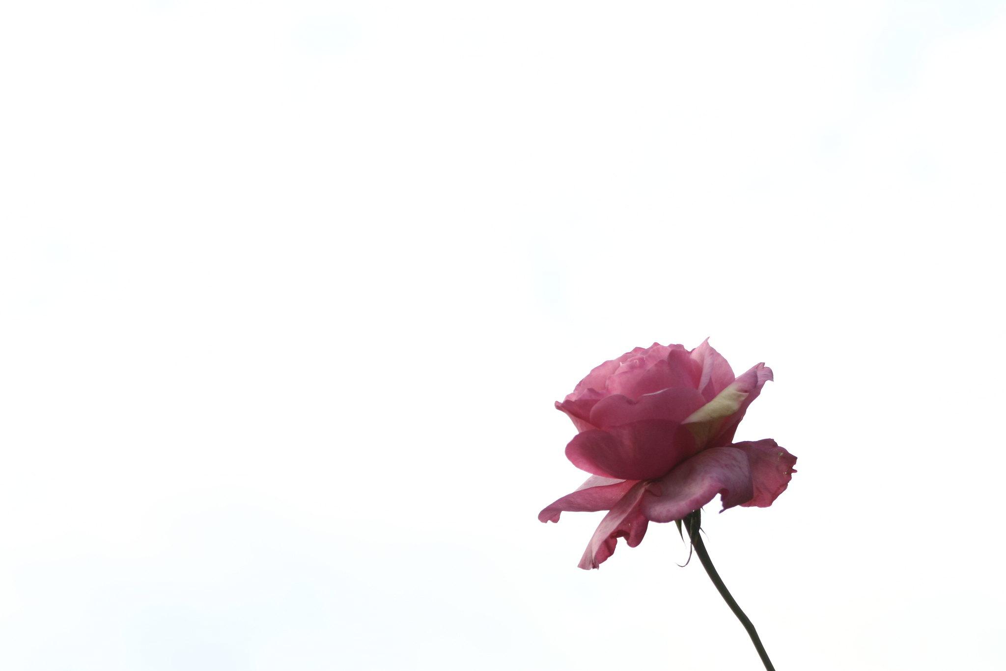 Pink rose, January sky