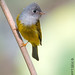 方尾鶲 / Grey-headed Flycatcher by 阿棋 Looking@Nature