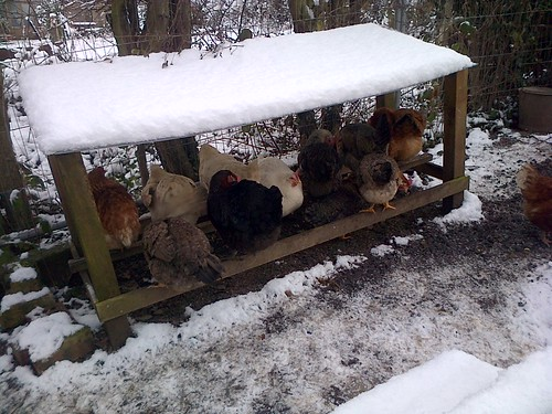 hens perched in shelter Jan 13