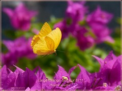 Large Orange Sulphur Texas Butterfly Photography by Ron Birrell; DSC_8711