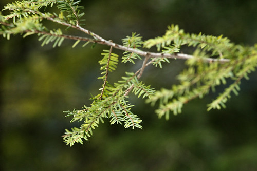Hocking Hills: Hemlock needles