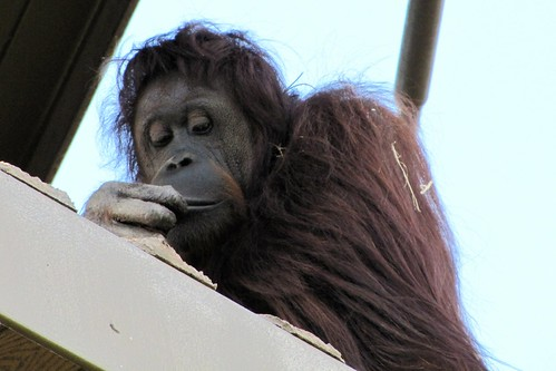 IMG_7140_Orangutan_on_High_Platform