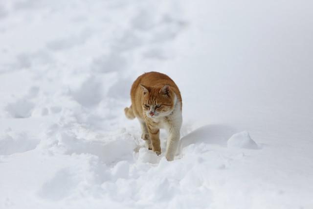 雪原のネコ