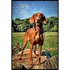 #Vilja #brooklyndog #vizsla #prospectpark #carmeraplus #dog #prospectparkdog #iphonepic