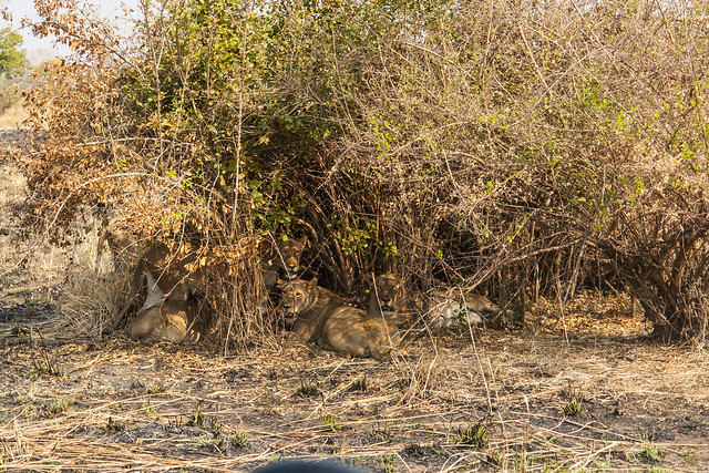 Zambia - Nsolo_20 - lion kill 4