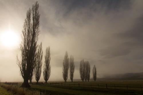 trees newzealand mist fog clouds sunrise foggy southisland otago poplartree mistytarrasotagonewzealand