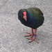 Small photo of Takahe (Porphyrio hochstetteri)