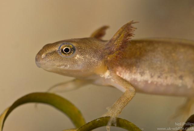 smooth newt tadpole 5