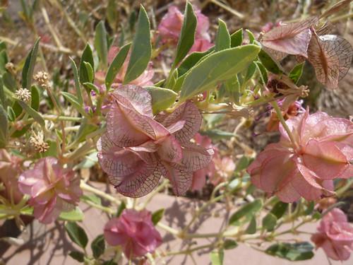 Desertplant
