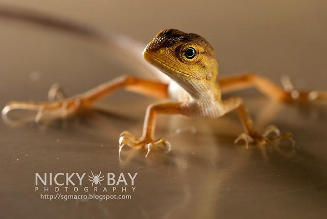 Changeable Lizard (Calotes versicolor) - DSC_7869