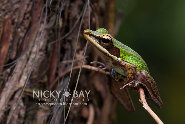 Copper-cheeked Frog (Hydrophylax raniceps) - DSC_7387