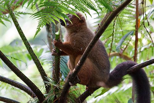 Red-bellied Lemur (Eulemur rubriventer)