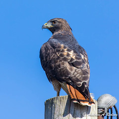 Red-tailed Hawk - Photo (c) Andrew Reding, some rights reserved (CC BY-NC-ND)