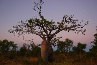 Boab Tree at Dusk