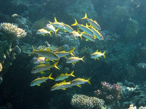 Capucin à nageoires jaunes de Plongez-Pépère, sur Flickr