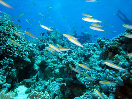 Caesio à ceinture d'or de Plongez-Pépère, sur Flickr
