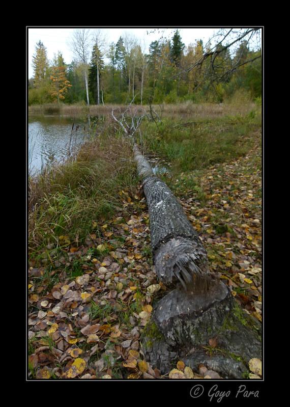 El tumba árboles