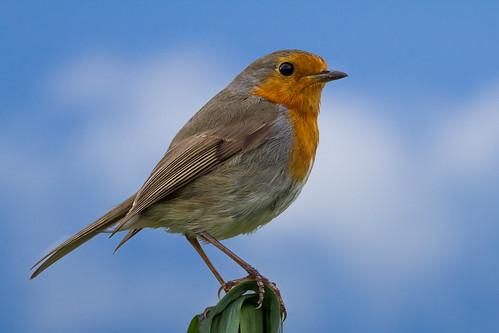 [フリー画像素材] 動物 2, 鳥類, ヨーロッパコマドリ・ロビン ID:201210260400