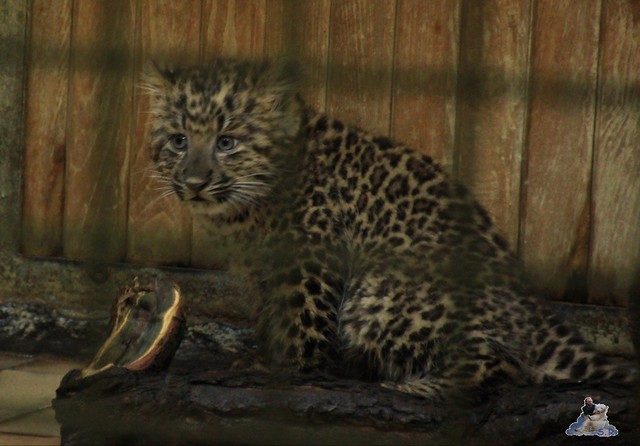 China Leopard Nachwuchs