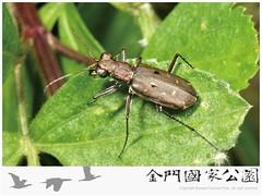 小鏡斑虎甲蟲-01(雄蟲)