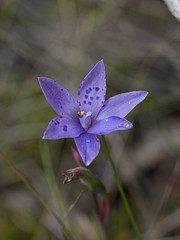 Thelymitra juncifolia (ii)